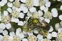 Sweat Bee - Augochloropsis