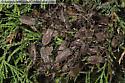 Leaf-footed bug aggregation - Leptoglossus oppositus