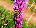 Having a hard time identifying this one. - Bombus fernaldae