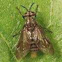 Deer Fly - Chrysops fuliginosus - female