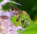Agapostemon sp.? - Agapostemon virescens - female
