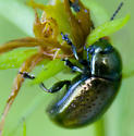 metallic beetle in meadows - Chrysolina