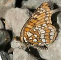 Butterfly - Chlosyne hoffmanni - female