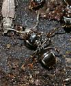 ant - Lasius alienus