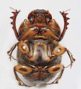 BG2724 E6704-6 - Digitonthophagus gazella - male