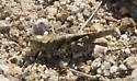 Grasshopper - Trimerotropis cyaneipennis - male
