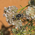 Blue Bembix, which species? - Bembix rugosa - male