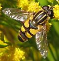 Which Helophilus? - Helophilus fasciatus - male
