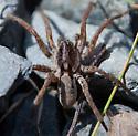 Male wolf spider? - Gladicosa gulosa - male