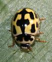 Fourteen-spotted Lady Beetle - Propylea quatuordecimpunctata
