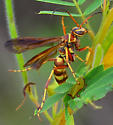 Poecilopompilus interruptus? brown and yellow spider wasp - Poecilopompilus interruptus - female
