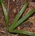 Durham Glennstone preserve leaf miner on Carex species D311 2016 2