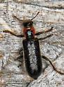 Cymatodera ? - Placopterus thoracicus