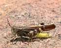 yellow-bodied grasshopper 2 - Arphia conspersa - male