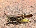 yellow-bodied grasshopper 2 - Arphia conspersa - male