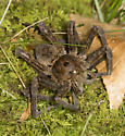 Very Large Spider - Dolomedes vittatus
