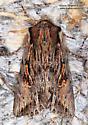 Moth - Morrisonia evicta