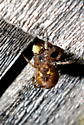 Eggs? Furrow Orb-weaver Spider - Larinioides cornutus