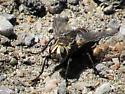 fly - Tachinomyia