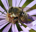 Megachile (Xanthosarus) perihirta - Megachile perihirta - male