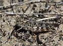Grasshopper - Spharagemon collare