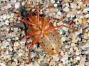 unknown bug on sand beach - Podisus brevispinus
