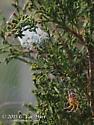 Not crucifera - Araneus