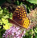 Which Fritillary? - Speyeria cybele - female