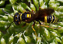 Small Wasp or Bee - Philanthus gibbosus
