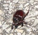 Large Beetle - Strategus antaeus