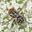 small tachinid - Gymnoclytia occidua - female