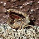 scorpion - Paravaejovis spinigerus?