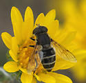 unknown flower fly - Eristalis - female