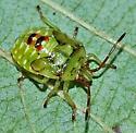 bug - Elasmostethus