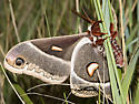 Columbia Silkmoth - Hyalophora columbia
