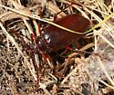 Large reddish brown beetle - Prionus californicus - female