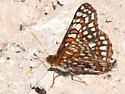 Anicia Checkerspot - Euphydryas anicia