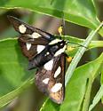 Alypia octomaculata