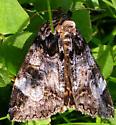 Locust Underwing - Euparthenos nubilis - Euparthenos nubilis