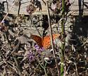 a butterfly - Agraulis vanillae