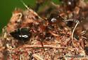 Ant - Crematogaster cerasi