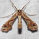 Eggplant Leafroller Moth - Lineodes integra