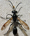 Sphecid - Podalonia? - Isodontia mexicana - male