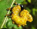 Sawfly Larvae - Arge