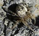 Shoshone Falls spider - Larinioides patagiatus
