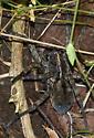 Kentucky Tarantula - Tigrosa georgicola