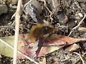 Beefly - Bombylius major