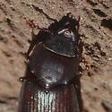 Tenebroides americanus