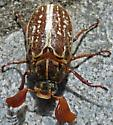 Variegated June Beetle?  Polyphylla variolosa? - Polyphylla comes - male