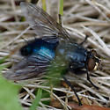 Bright blue/cyan coloured fly